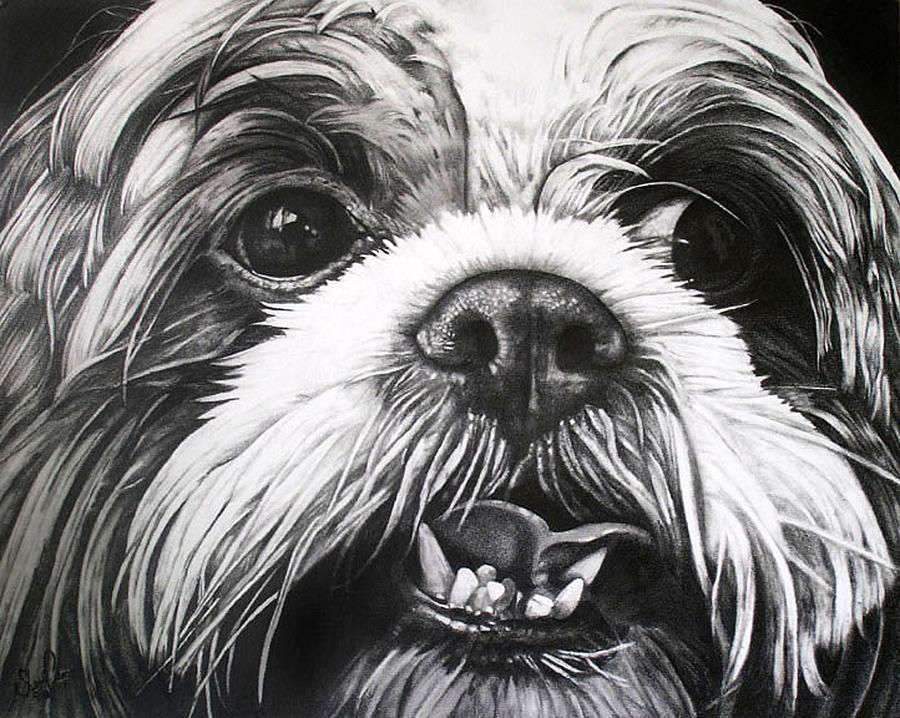 Shih Tzu- Tommy Drawing by Sherri Mull
