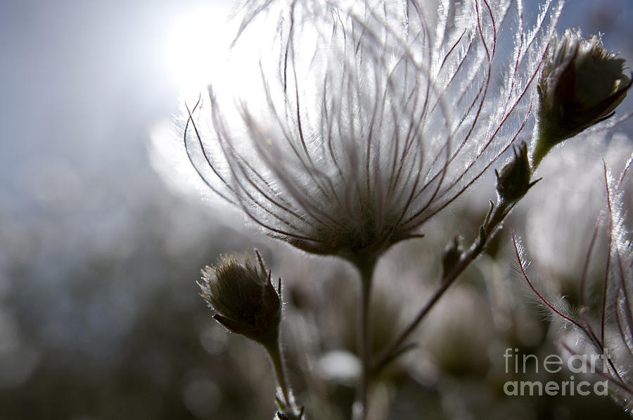 Abstract Photograph - Shimmering Flower I by Ray Laskowitz - Printscapes
