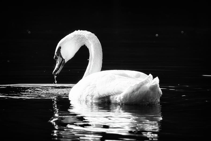 Swan Photograph - Shimmering Swan by Michael McStamp