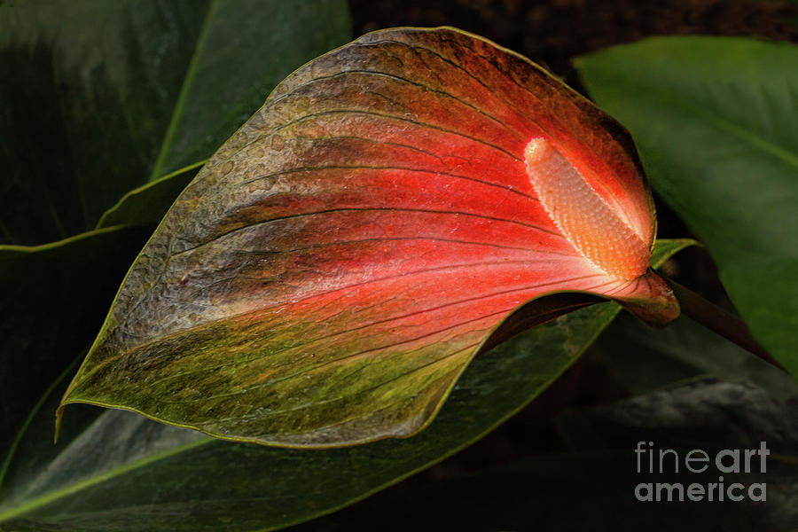 Flamingo Lily Photograph - Shine A Light by Marilyn Cornwell