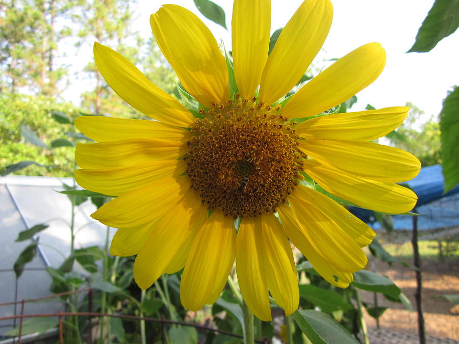Sunflower Photograph - Shine Sunflower Shine by David Sutter