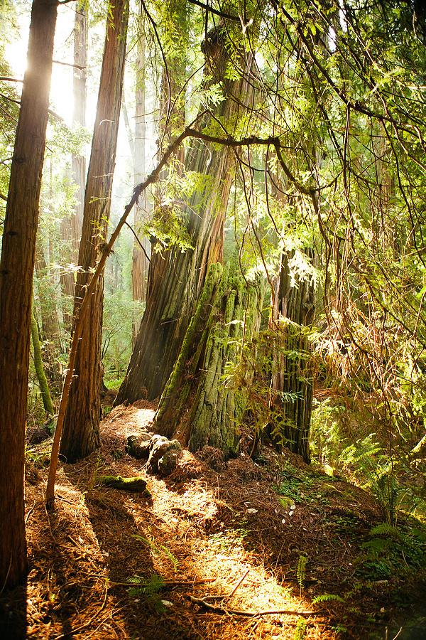 Muir Woods Photograph - Shining by Ariane Moshayedi