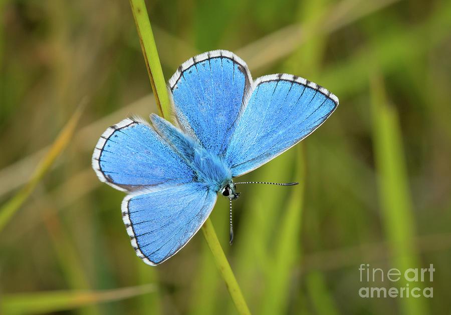 Shocking Blue Butterfly by Paul Farnfield