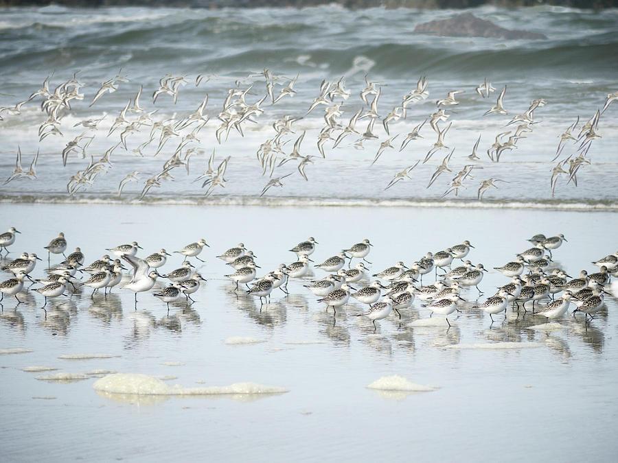 Shorebirds Photograph - Shorebirds Oregon Coast by Carol Leigh