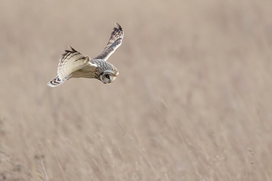Short Eared Owl - Asio Flammeus Photograph