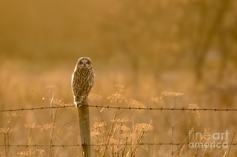 Asio Flammeus Photograph - Short-eared Owl at sunset by Paul Farnfield