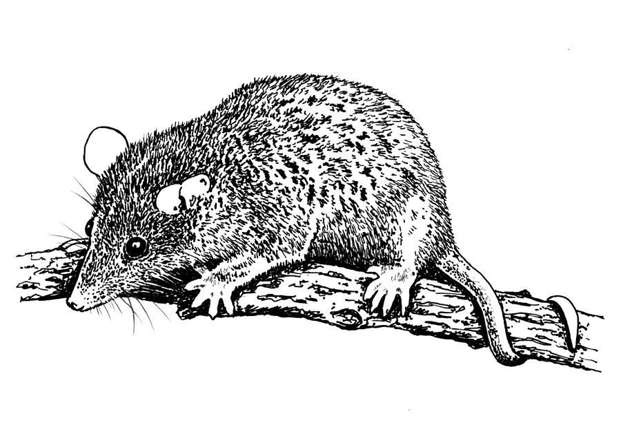 Short Tailed Opossum Drawing By Marc Zev