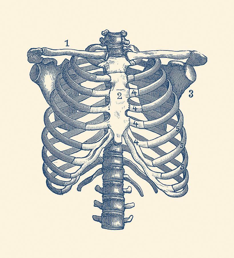 Человеческие ребра в картинках