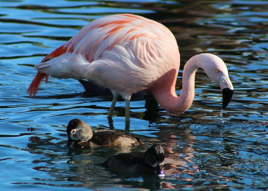 Pink Flamingo Photograph - Show Off by Colleen Cornelius