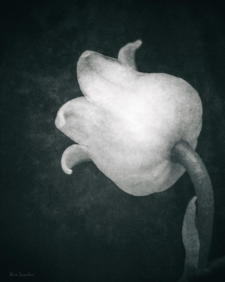 Lily Of The Valley Photograph - Shy by Wim Lanclus