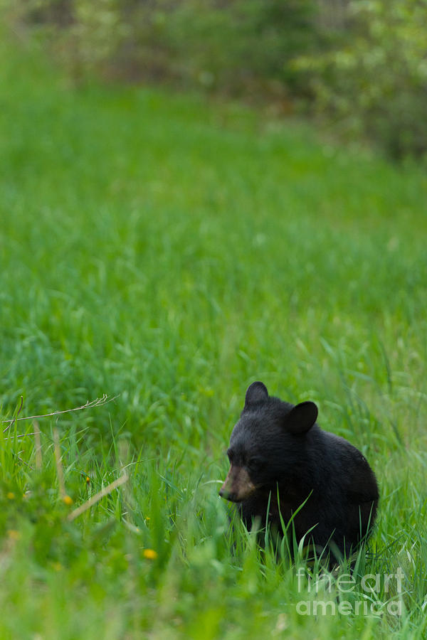 Black Bear Photograph - Shyness by Birches Photography