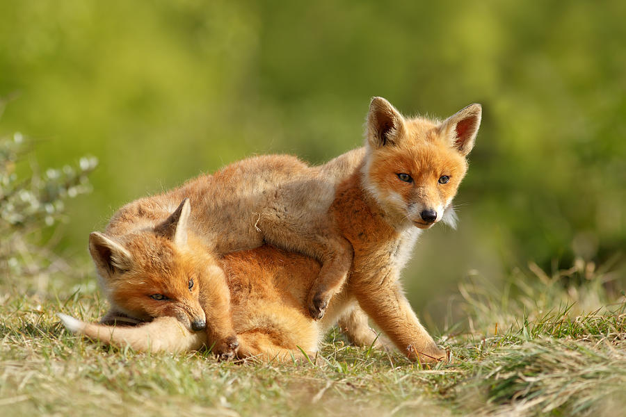Red Fox Photograph - Sibbling Love - Playing Fox Cubs by Roeselien Raimond