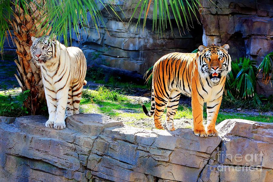 asian tigers
