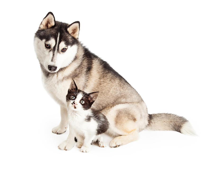 Siberian Husky Dog Sitting With Little Kitten Photograph