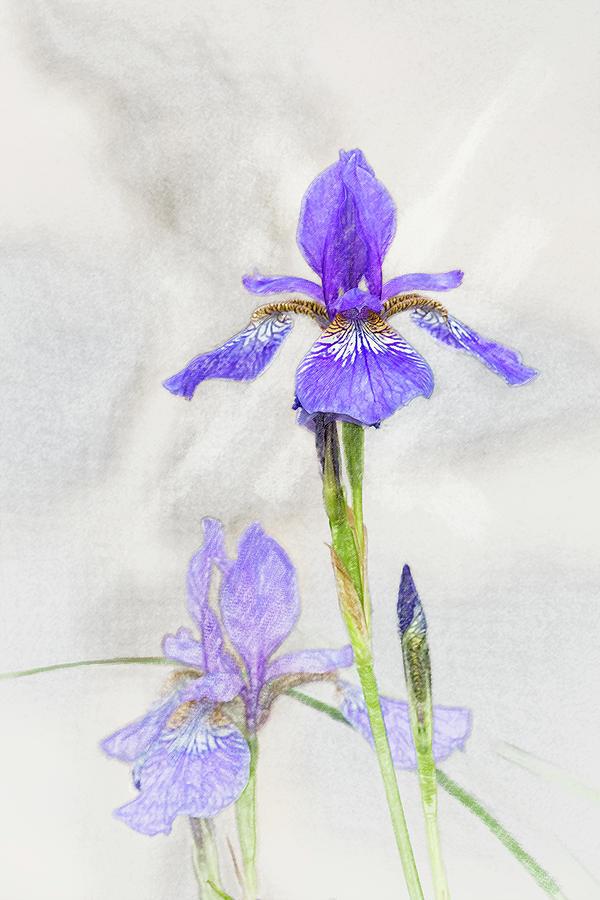 Siberian Iris by Mark Mille