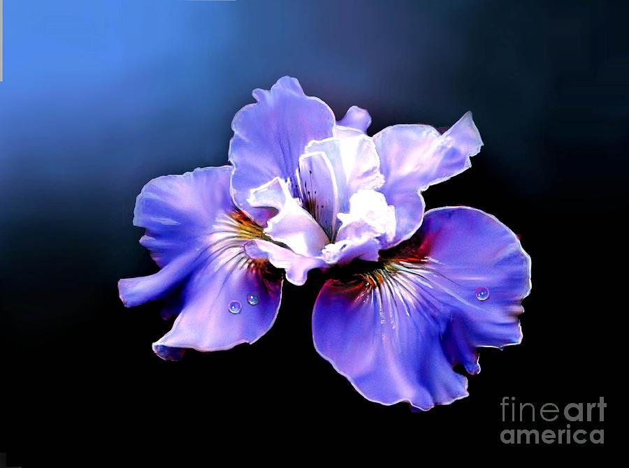 Iris Painting - Siberian Iris by Robert Foster
