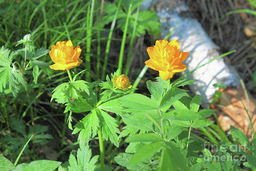 Siberian Rose. It Blooms In Spring In The Forest. Yellow - Orange. Photograph