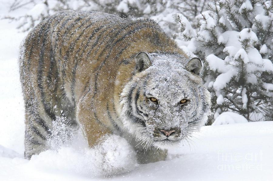 Siberian Tiger Winter Photograph By Wildlife Fine Art