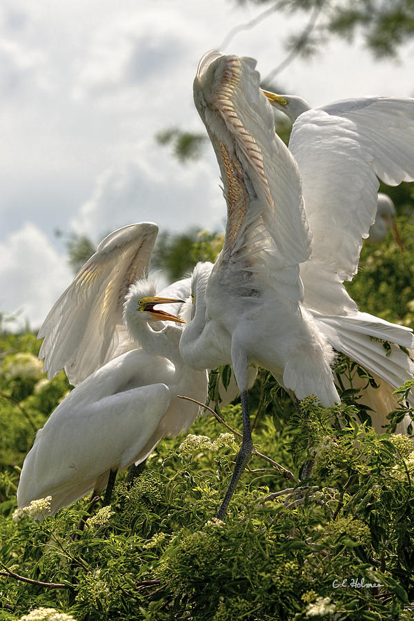 Bird Photograph - Sibling Squabble by Christopher Holmes