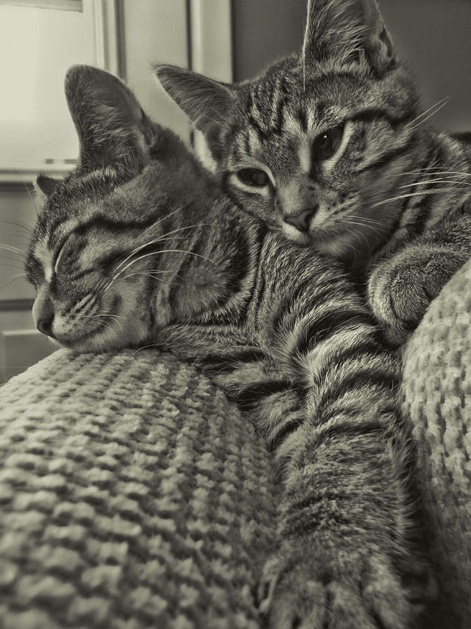 Cat Photograph - Siblings by JAMART Photography