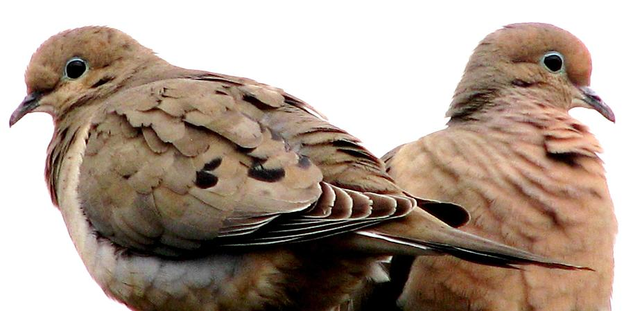 Mourning Doves Photograph - Side By Side by Angela Davies