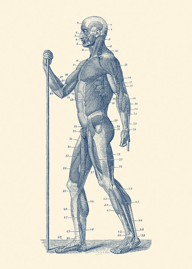 Side View Human Muscle System Anatomy Poster Drawing By