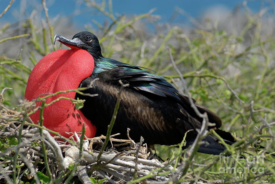 North Seymour Photograph - Side View Of Great Frigate Bird In Shrub by Sami Sarkis
