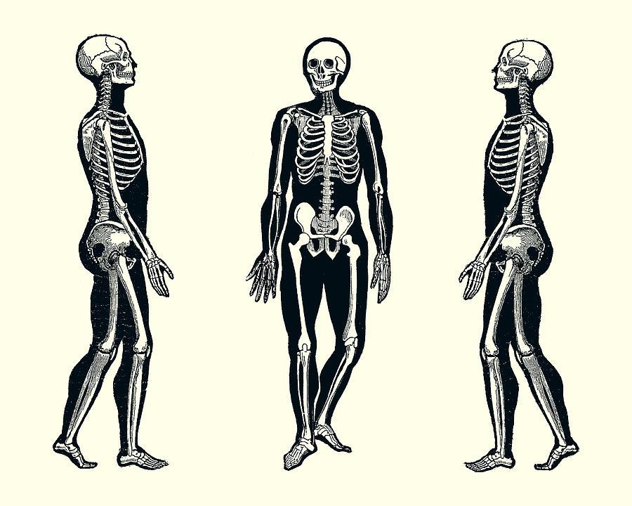 Side View Skeleton Vintage Anatomy Print 2 Photograph By Vintage