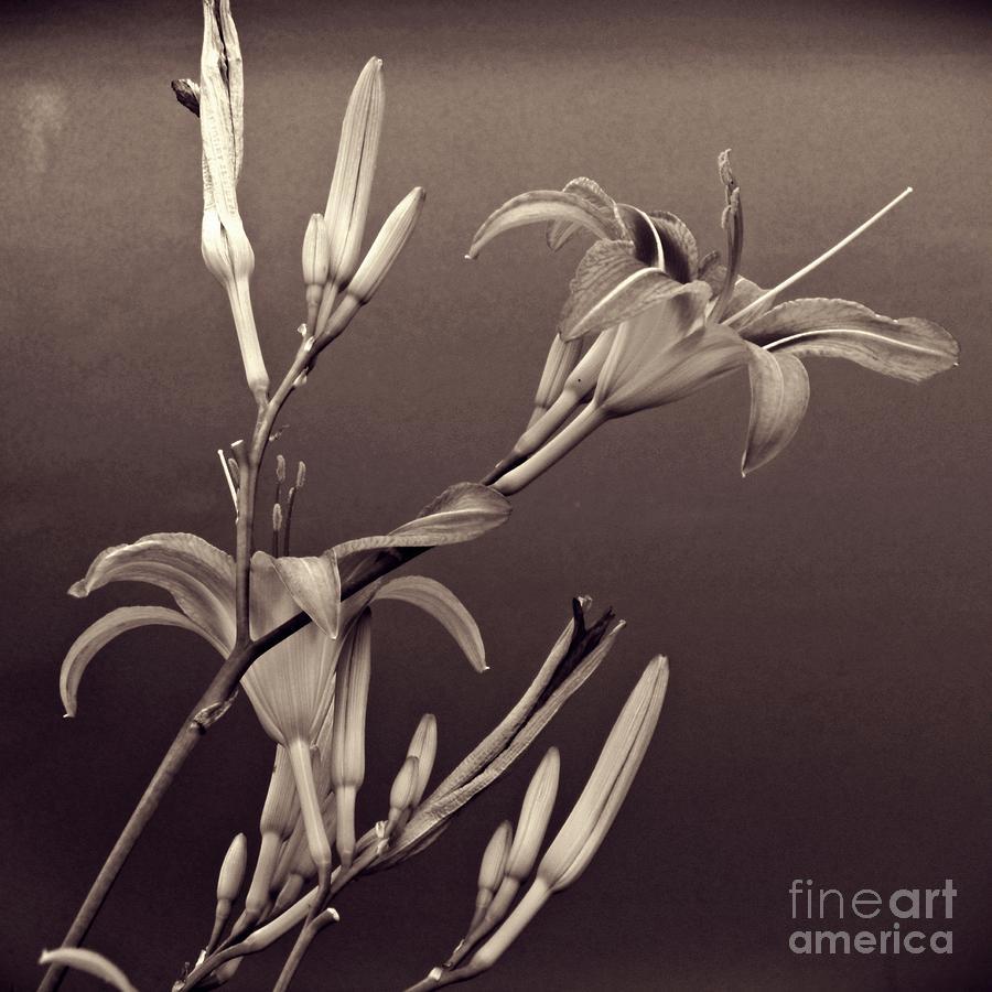 Lily Photograph - Sidewalk Lilies Sepia Square Format  by Sarah Loft