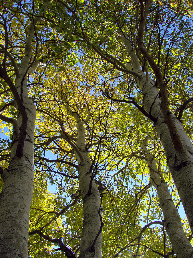 Sierra Nevada Mountains Photograph - Sierra Nevada Aspen Fall Color by Scott McGuire