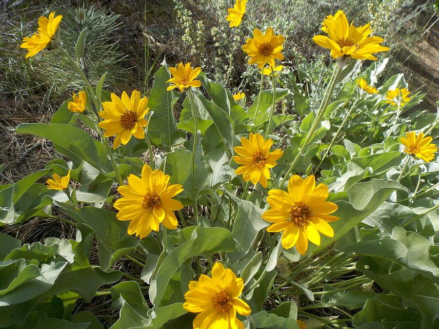Flowers Photograph - Sierra Wildflowers by Kristina Lammers