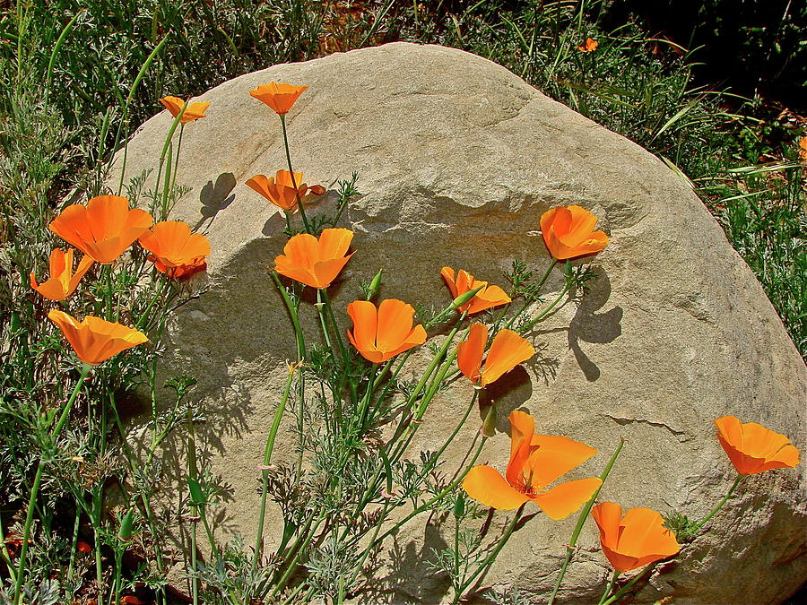 Poppy Photograph - Signs Of Spring by Diana Hatcher