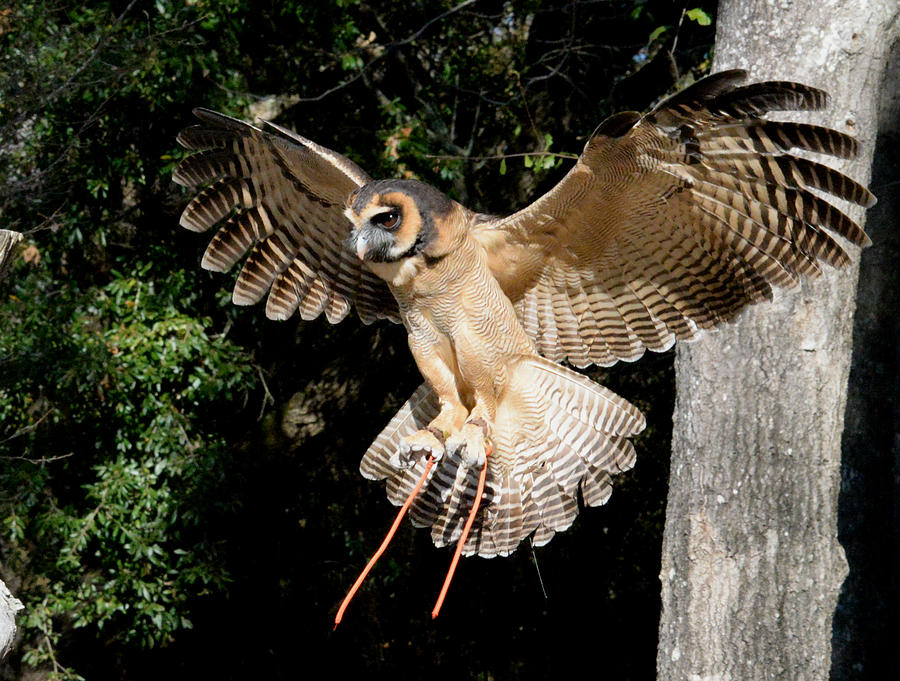 Asian Brown Wood Owl Photograph - Silent Flight by Erin ONeal-Morie