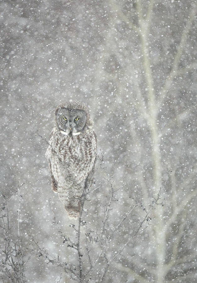 Owl Photograph - Silent Snowfall Portrait II by Everet Regal