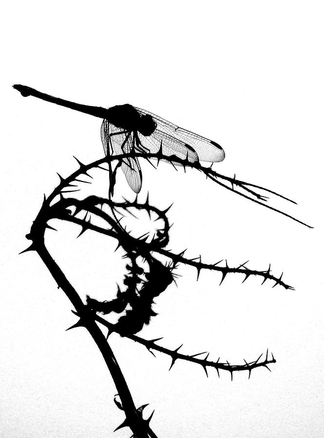 silhouette of a dragonfly photograph by joe sampouw