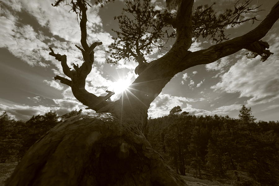 Bark Photograph - Silhouette Of A Gnarled Tree - Sepia by Ulrich Kunst And Bettina Scheidulin
