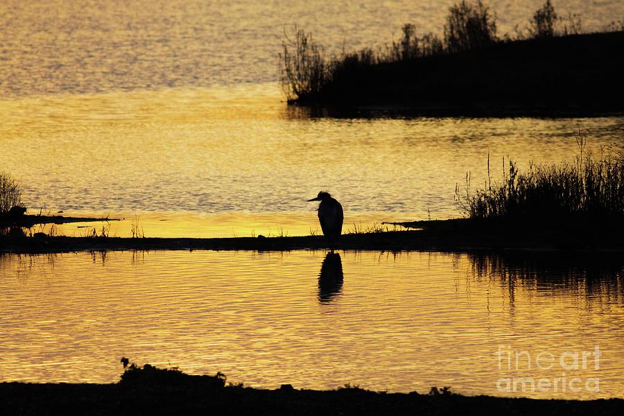 Silhouette of a Grey or Gray Heron - Ardea cinerea - in wetland we by Paul Farnfield