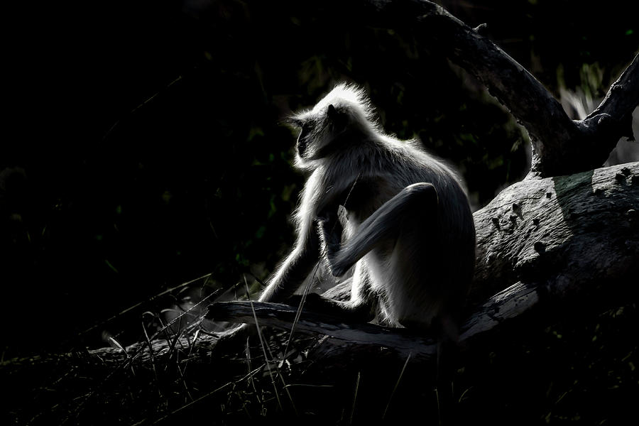Animal Photograph - Silhouette Of A Monkey by Pravine Chester