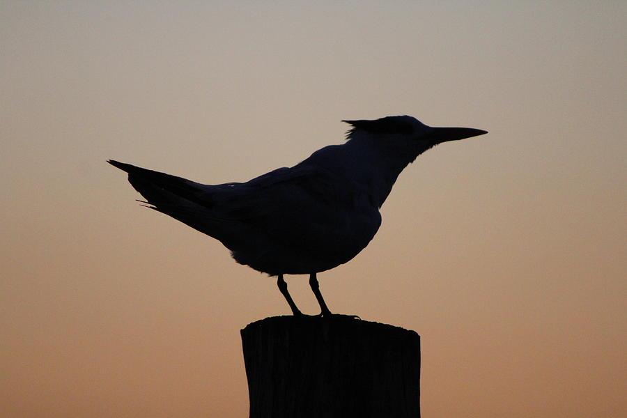 Bird Photograph - Silhouette Of Bird by Toni Fontana