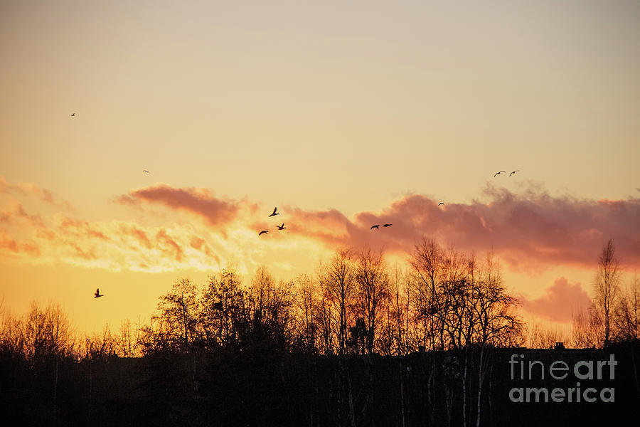 Dark Photograph - Silhouette of birds wildfowl geese flying off to roost at sunset by Paul Farnfield