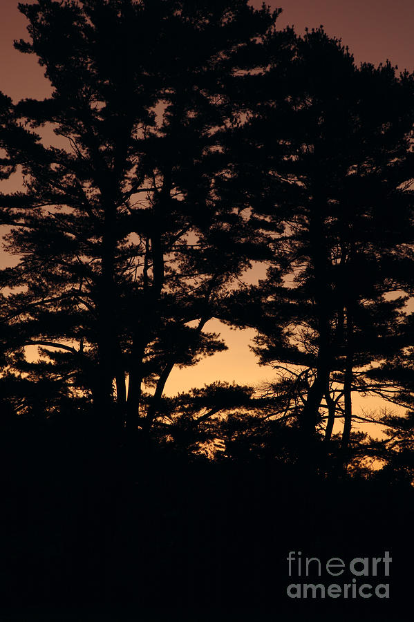 Tree Photograph - Silhouette Of Forest  by Erin Paul Donovan