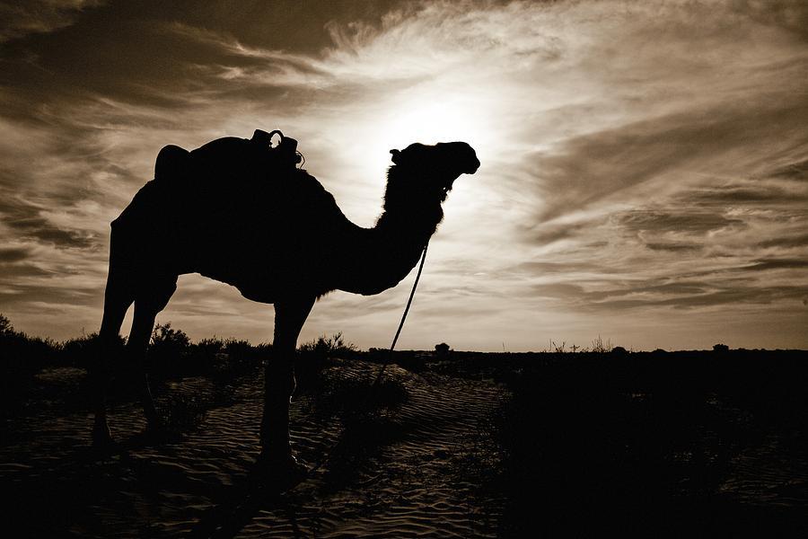 African Photograph - Silhouetted Camel, Sahara Desert, Douz by David DuChemin