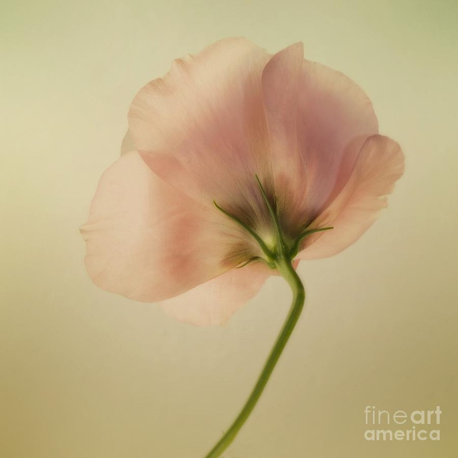 Eustoma Photograph - Silk by Priska Wettstein