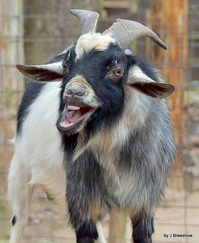 Silly Goat Photograph By Judy Beal Breedlove