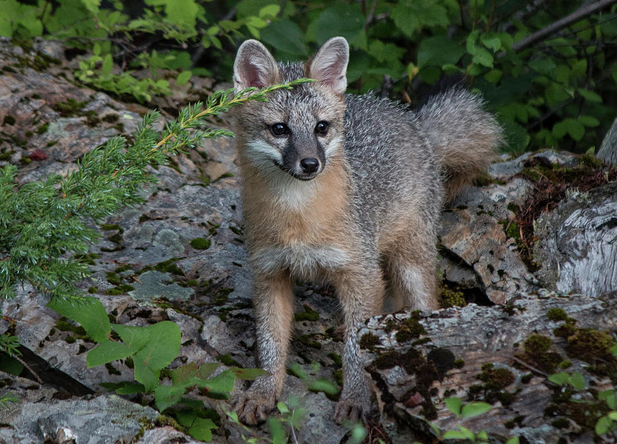 Silver fox kit - photo#36
