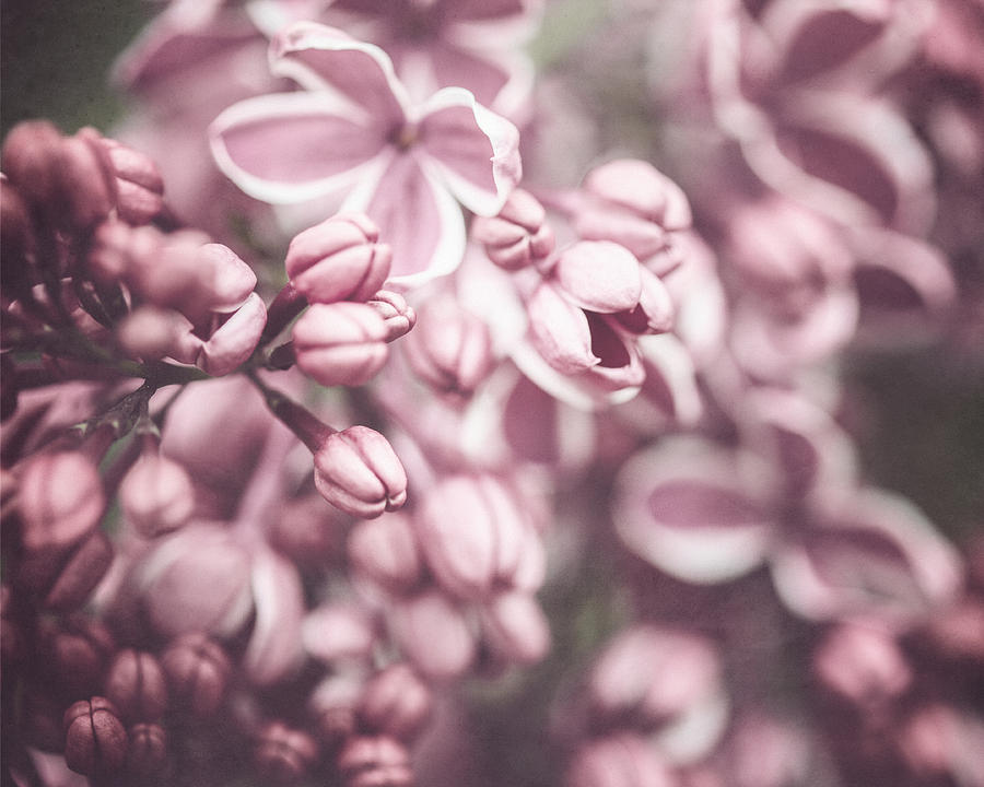 Flower Photograph - Silver Lilacs by Lisa Russo