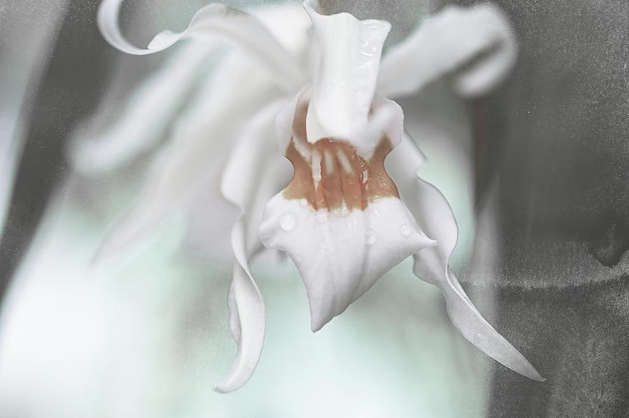 Orchids Photograph - Silver Melody 1 by Jenny Rainbow