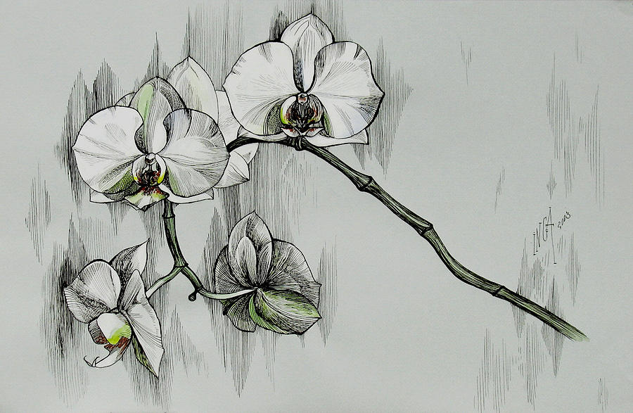 how to draw a cattleya flower