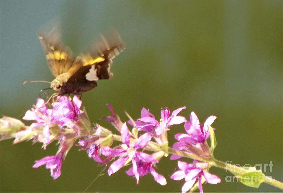 Butterfly Photograph - Silver Spotted Skipper Landing On Blooms                 August               Indiana by Rory Cubel