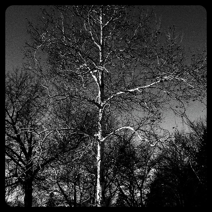 Black And White Photograph - Silver Tree - Monochrome by Frank J Casella